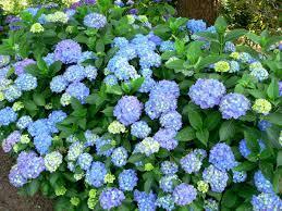 Hydrangea macrophlla 'Blauer Prinz'