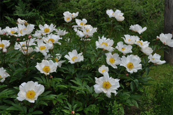 Paeonia 'White Wings'