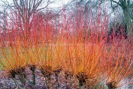 Salix alba 'Yelverton'