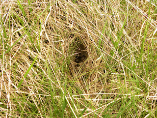 mice nesting in long grass.