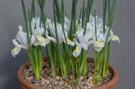 IIris reticulata 'White Caucasus'