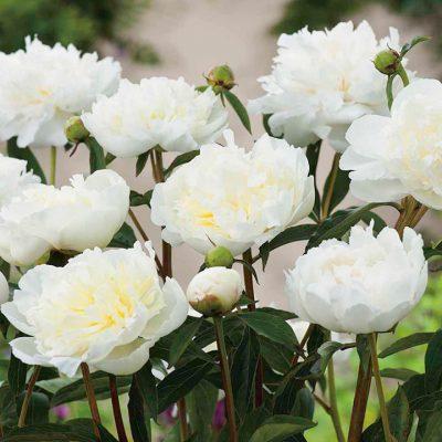 P. lactiflora 'Duchess de Nemours'