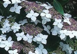 Hydrangea macrophlla 'Lanarth White'