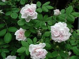 R. Great Maidens blush. Alba