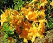 Rhododendron 'Nancy Waterer'