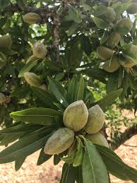 Sweet Almond 'Robijn