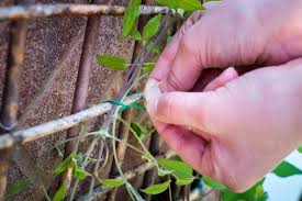 tieing in wall shrubs