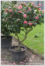 Camellias grow well in containers.