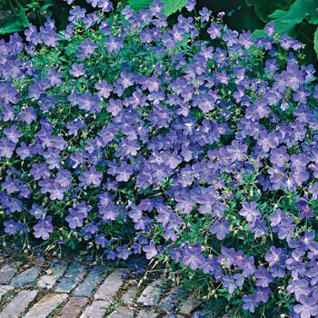 Geranium 'Johnston's Blue'