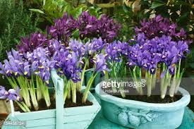 Iris looking at their best in containers