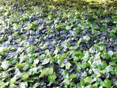 ivy grown as ground covers