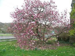 Magnolia tripetale