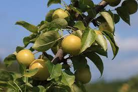 Pear Shinseiki