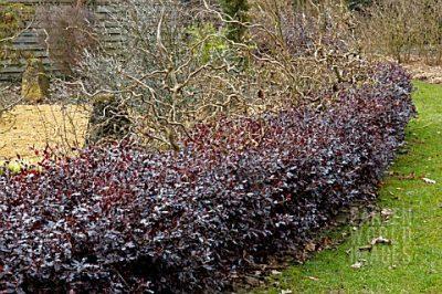Pittospormum tenuifolium 'Tom Thumb'