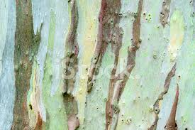 Close of Eucalyptus