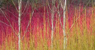 Colourful winter stems