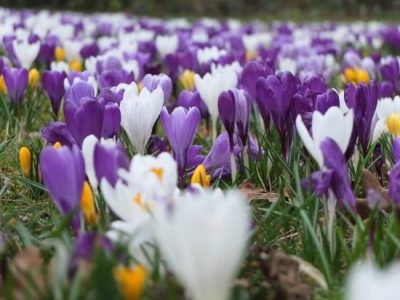 glorious crocus