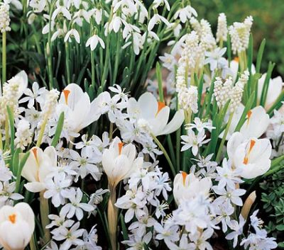 snowdrops and other early flowering bulbs.