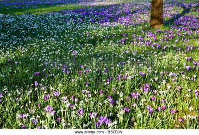 Sweeps of on mass planting of snow drops and crocus.