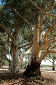 Group of hansom Eucalyptus