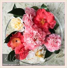 Beautiful flowers of Camellias