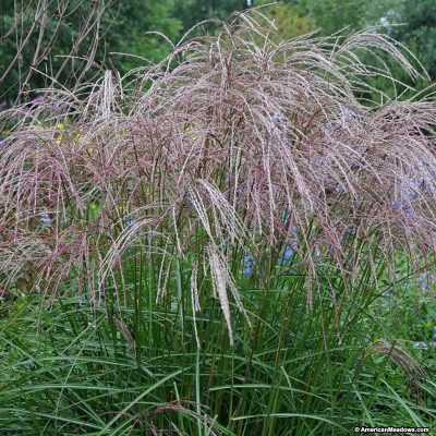 Miscanthus sinsensis 'Morning Light'