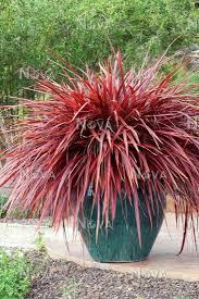 Phormium cookianum 'Flamingo'