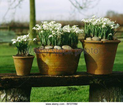 Snowdrops in pots.