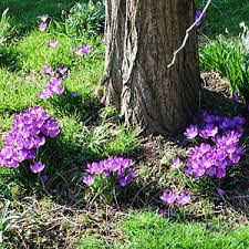 naturalising autumn crocus