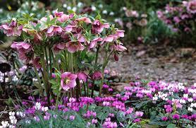 hellabores-adding-colour-to-the-winter-garden