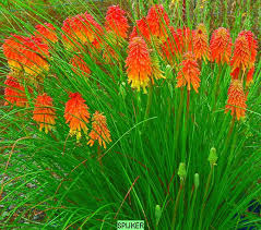 Kniphofia uvaria 'Nancy's Red'