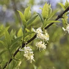 L.fragrantissma x purpusii