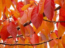P.sergentii, autumn colour