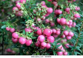 perrnettya-pink-pearl