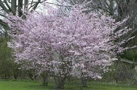 Prunus subhivtella 'Autumnalis'