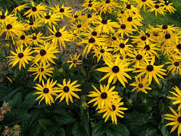 Rudbeckia fulgida var. sullivatii 'Goldstrum'