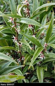 S.hookeriana digyna 'purple stem'