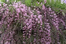 Wistia sinensis 'Plena'